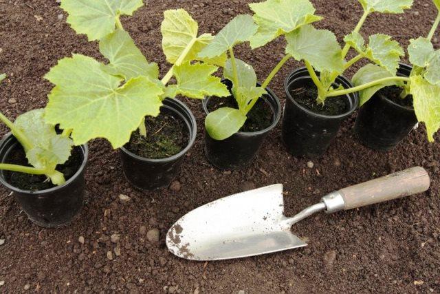 Когда высаживать рассаду в открытый грунт в 2019 году: сроки, таблица