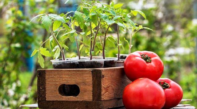 посадка помидор на рассаду на урале